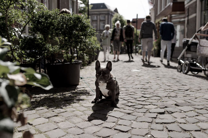 Animal Themes Architecture Building Exterior Built Structure Day Dog Domestic Animals Domestic Cat Feline French Bulldog Guardian Leiden Mammal No People One Animal Outdoors Pets Sitting Street Place Of Heart The Portraitist - 2017 EyeEm Awards The Street Photographer - 2017 EyeEm Awards Your Ticket To Europe Pet Portraits