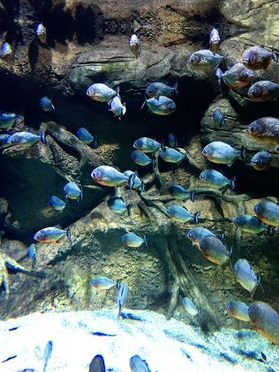 Пираньи - мои друзья 👹🐟 рыбамойдруг зубовбояться втихомомуте москвариум