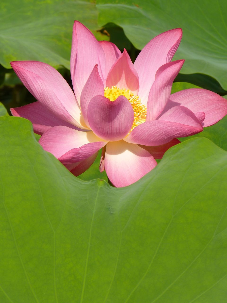 leaf, flower, petal, nature, beauty in nature, fragility, growth, flower head, freshness, pink color, close-up, green color, lotus water lily, plant, no people, lotus, day, blooming, outdoors