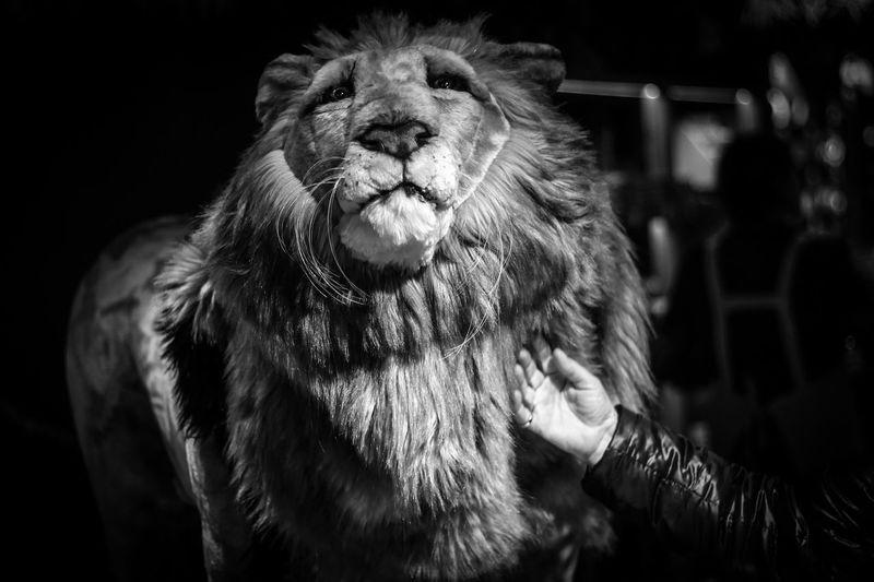 Animal Themes Black & White Close-up Domestic Animals Fake Life Hand Lion Mammal Nature One Animal Portrait Touching Lion The Week On EyeEm EyeEmNewHere