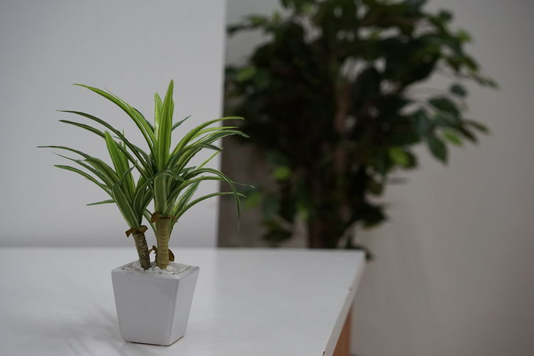 Plant Potted Plant Tree Growth Nature Houseplant No People Table Bonsai Tree Indoors  Close-up Green Leaves Green Grass Green