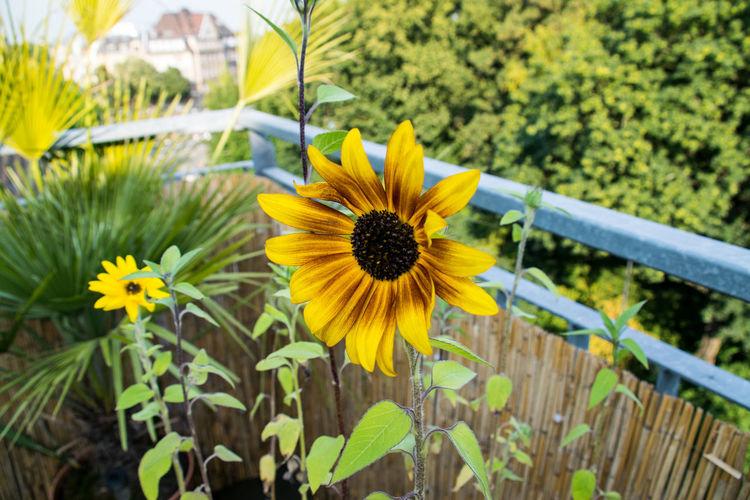 B Balcony Balcony View Canoma Photography Pflanzen Plant Sonneblume Sunflower Urban Landscape First Eyeem Photo