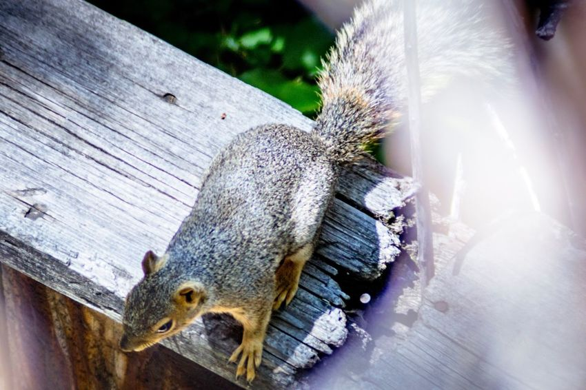 A squirrel sitting on top of a wooden fence Squirrel Photography Squirrel On A Fence Squirrel Life Selectivefocus EyeEm Selects Animal Animal Themes Animal Wildlife No People One Animal Day Close-up Animals In The Wild Wood - Material Nature Plant High Angle View Outdoors Mammal Sunlight