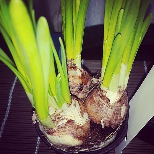 Narcissus Cakamenakvety
