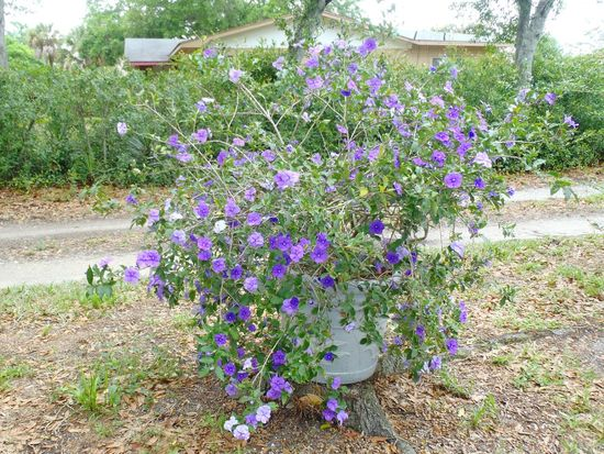 Yesterday, Today and Tomorrow plant in bloom, Brunfelsia pauciflora, 'Floribunda' Blooms in shades of purple, violet and white flowers Purple Flowers Flowering Bushes Flowers Flowers,Plants & Garden