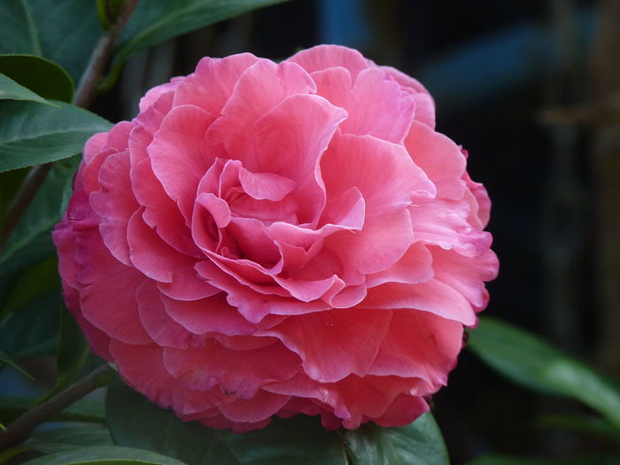 Camellia Camellia Camellia Japonica Beauty In Nature Camellia Flower Camellia Flowers Close-up Day Flower Flower Head Flowering Plant Focus On Foreground Fragility Freshness Growth Inflorescence Leaf Nature No People Outdoors Petal Pink Color Plant Plant Part Rosé Springtime Vulnerability