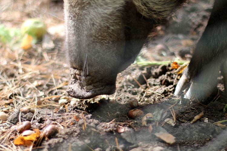 Close-up of boar on land