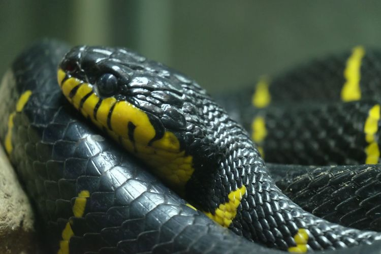 Animal Themes Animals In The Wild Banded Krait Close-up Nature One Animal Poisonous Snakes Snake