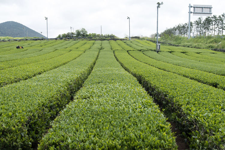 Scenic View Of Green Tea Field Against Sky
