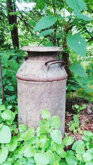 Milk Can Spring Green Leaves Rusty Old Pacific Northwest  Ladyphotographerofthemonth