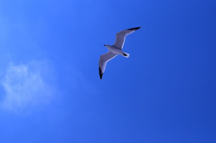 bird Animal Themes Animal Wildlife Animals In The Wild Beauty In Nature Bird Blue Clear Sky Day Flying Full Length Low Angle View Nature No People One Animal Outdoors Sky Spread Wings