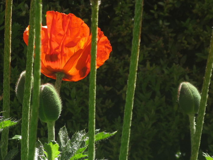 Plant Flowering Plant Flower Growth Freshness Beauty In Nature Vulnerability  Fragility Close-up Petal Flower Head Inflorescence Nature Focus On Foreground Plant Stem No People Day Orange Color Poppy Outdoors