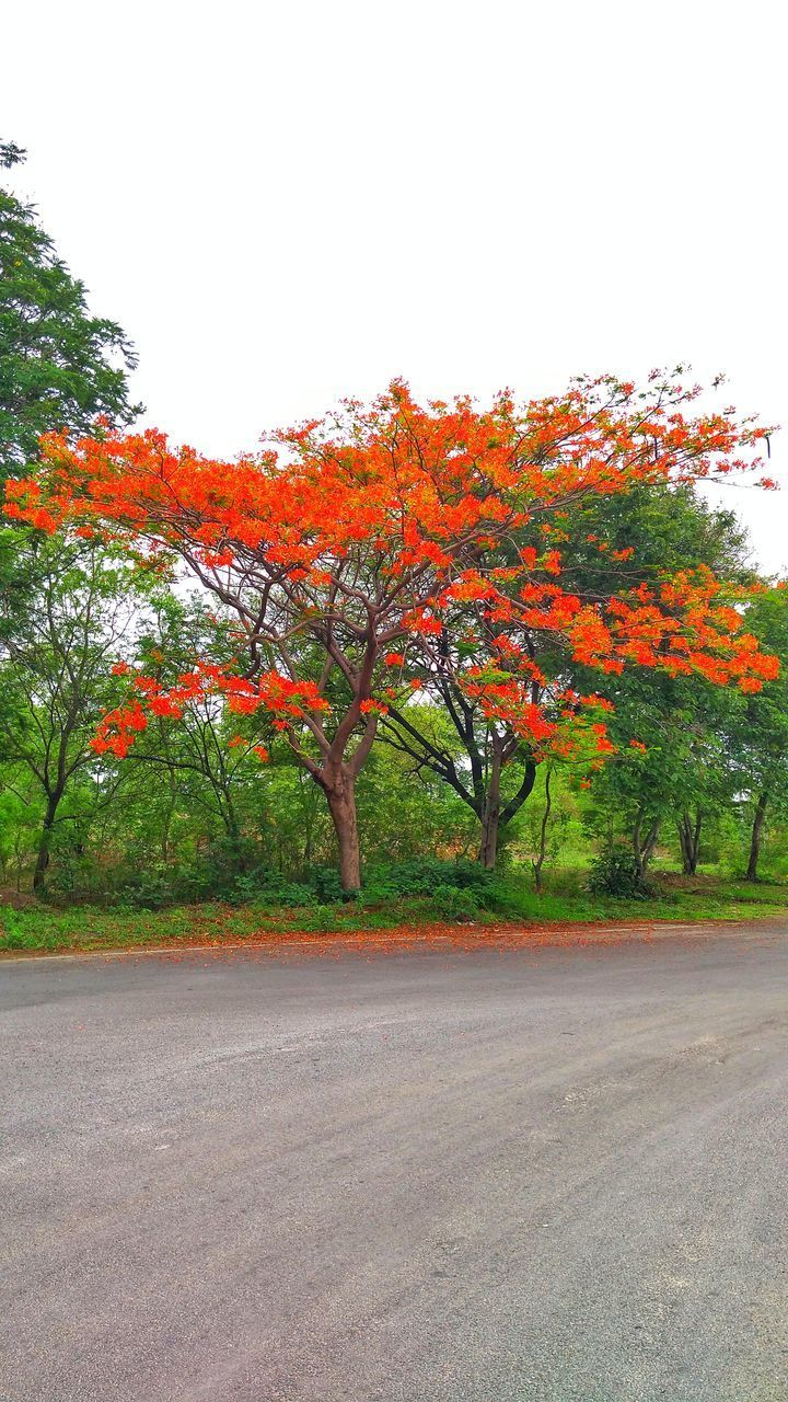 tree, plant, autumn, beauty in nature, orange color, change, nature, no people, growth, sky, day, tranquility, road, tranquil scene, outdoors, scenics - nature, clear sky, environment, idyllic, field, natural condition