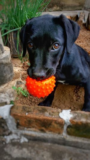 Ninguém mexe na minha bolinha! 🐶Dog Pets One Animal Domestic Animals Mammal Animal Themes Black Color No People Day Sitting Outdoors Portrait The Week On Eyem Week On Eyem The Week Of Eyeem Labrador Black Labrador Ball Dog With A Ball EyeEmNewHere Let's Go. Together.