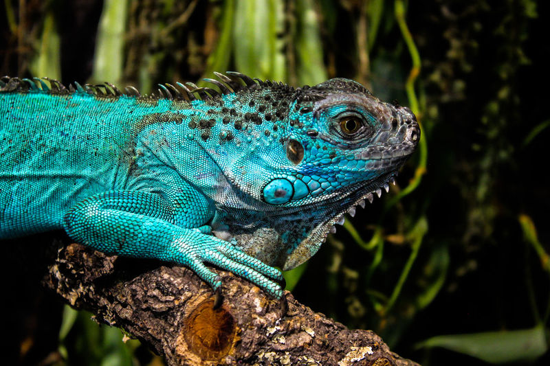 Animal Animal Body Part Animal Eye Animal Head  Animal Scale Animal Themes Animal Wildlife Animals In The Wild Close-up Day Focus On Foreground Green Color Iguana Lizard Nature No People One Animal Outdoors Plant Profile View Reptile Tree Vertebrate