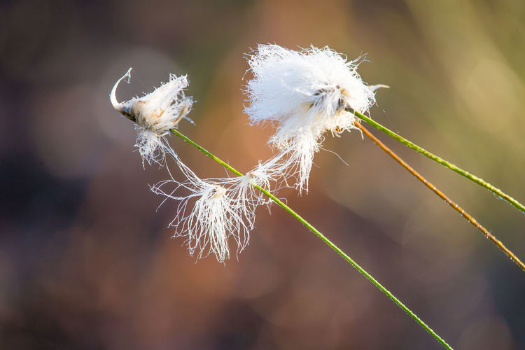 A beautiful closeup of a white cottongrass heads growing in a natural habitat of swamp. Natural closup of wetlands flora in Latvia, Northern Europe. Grass Swamp Wetland Cottongrass Flora Fluffy Nature No People Plant Softness White