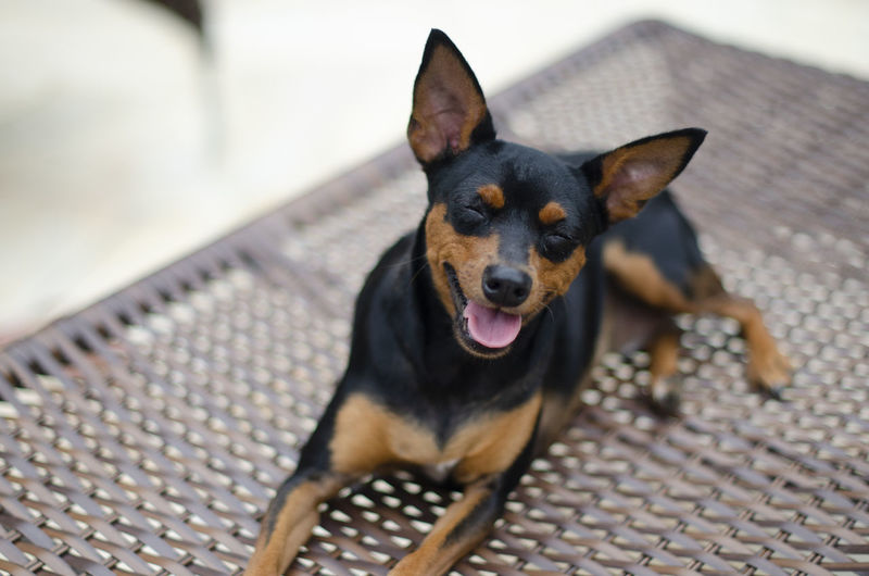 High angle portrait of dog sticking out tongue outdoors