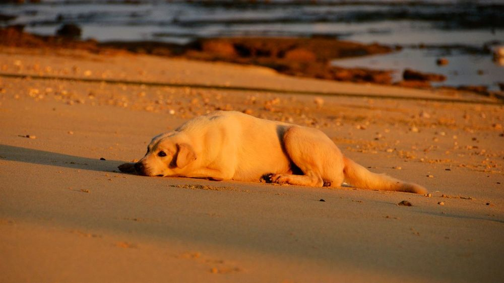A dog living on a tropical beach. Dog Sleeping  Dogs Peace Tropical Paradise Animal Themes Animal Wildlife Animals In The Wild Beach Beach Dog Day Domestic Animals Mammal Nature No People One Animal Outdoors Ressaca Sand Sea Sleeping Sunrise Tropical Water