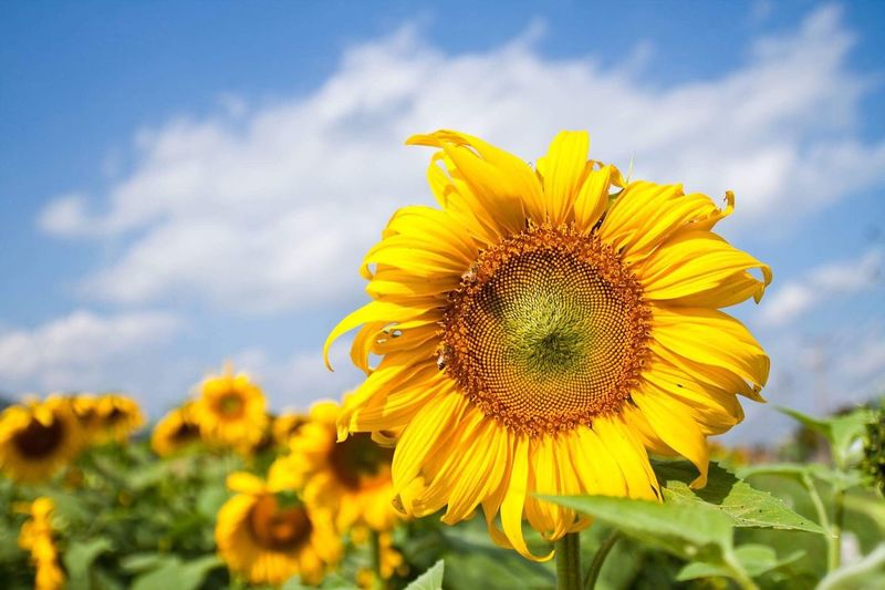 Sunflower Flower Yellow Petal Fragility Nature Beauty In Nature Flower Head Sunflower Plant Freshness Growth Sky Field Outdoors Blooming Cloud - Sky Pollen Day Close-up Blossom