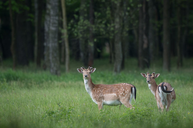 Portrait of deer standing on grassy land in forest