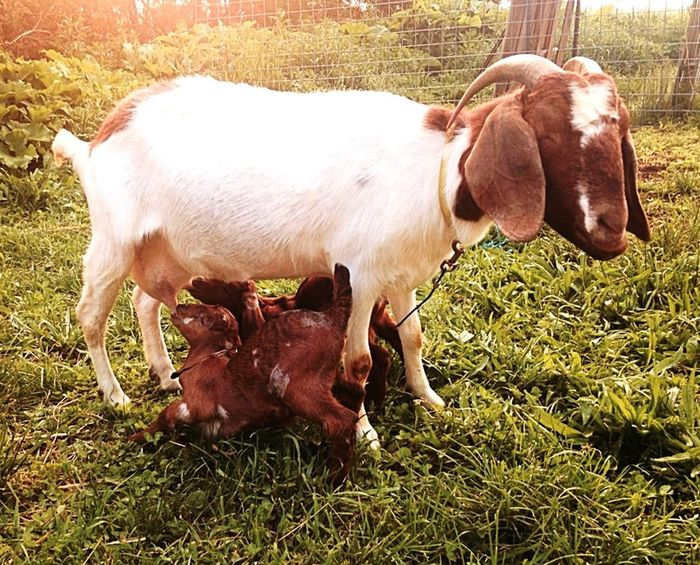 Capture The Moment Enjoying Life Hello World Check This Out Goats Farm Life Taking Photos