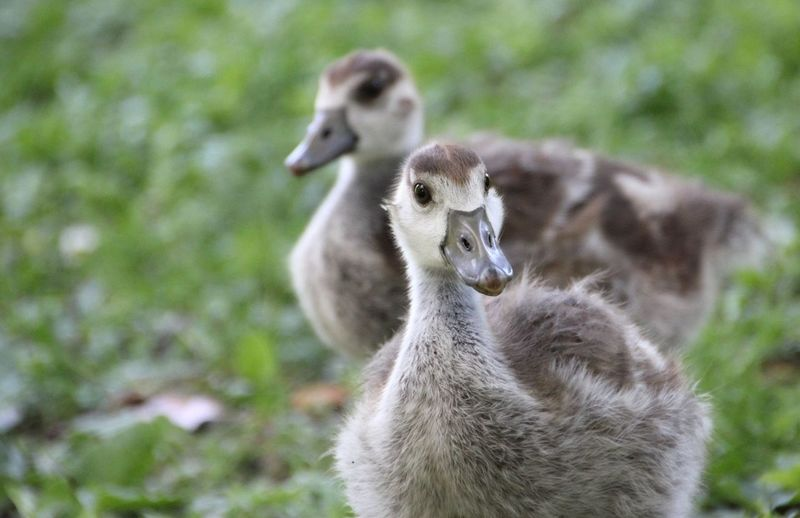 Sweet 😁 Goose Gooses Gooses Family Goose Family Feather  Animals In The Wild Animals Animal Wildlife Nature Nature Photography Gans Gänse Tier Tierfotografie Tiere Animal Photography Animal_collection Animal Animal Themes EyeEm Nature Lover EyeEm Best Shots - Nature