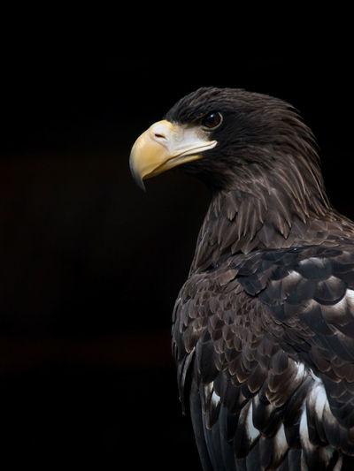 Animal Themes Beak Bird Bird Of Prey Black Background Close-up Day Eagle - Bird No People One Animal Proud Bird