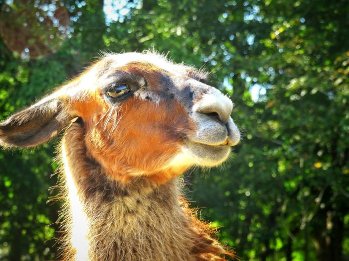 Smile for the camera. EyeEm Nature Lover Llama Animal Themes Animal Head  Wildlife Outdoor Photography Naturelovers Tree Close-up Animal Face Adult Animal