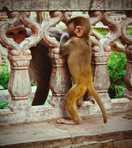 More monkeys! Monkey Monkeys Monkeytemple Monkey Temple Apes Mother & Son Mother & Daughter Mother And Baby Mother And Child Mother And Daughter Mother And Son Mother Baby Animals Animal Animal Photography Jaipur Indian Animals India Indiapictures Indian Temples Temple Travel Travel Photography Baby Monkey