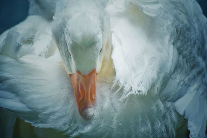 EyeEm Nature Lover EyeEm Best Shots Eye4photography  EyeEm Gallery EyeEm EyeEmBestPics EyeEm Best Shots - Nature Eye Em Nature Lover Beauty In Nature Animal Themes Birds Of EyeEm  Birds_collection Goose Close-up Feather