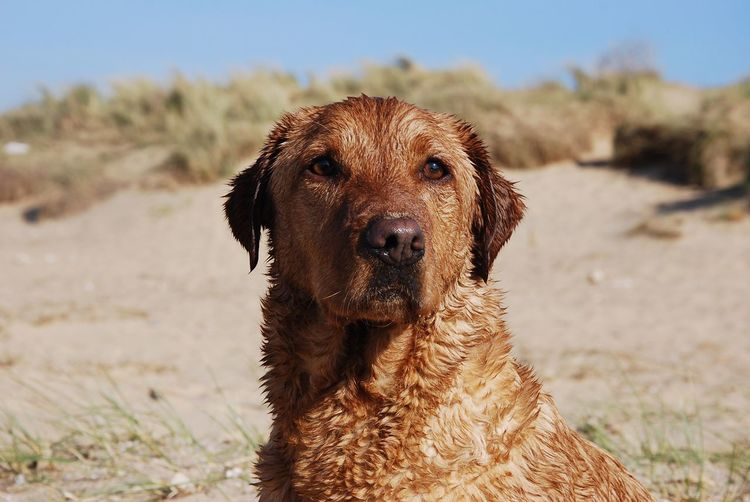 Bonzo @bonzosworld Instagram Dog Domestic Animals Looking At Camera Animal Themes Pets Mammal One Animal Portrait Focus On Foreground Beach Close-up Outdoors No People Day Sand Sky Sea Lab Labrador Retriever Red Lab Labrador Pet Portraits