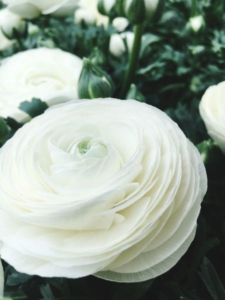 Flowers Flower Beauty In Nature Flowering Plant Plant Close-up Petal Inflorescence White Color Rosé Focus On Foreground