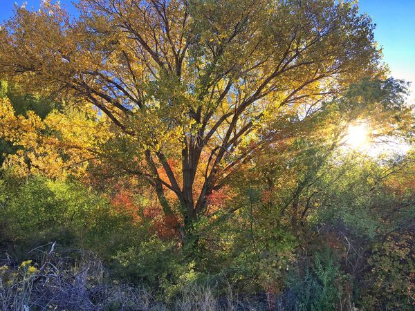 Tree Autumn Change Season  Growth Sun Tranquility Branch Sunbeam Beauty In Nature Nature Scenics Tranquil Scene Day Outdoors Back Lit Lens Flare Lush Foliage No People Bright