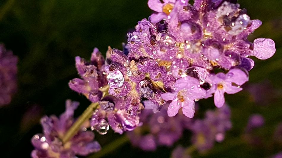 Lavender After The Rain Flower Fragility Beauty In Nature Nature Purple Close-up No People Pink Color Day Outdoors Freshness Flower Head Focus On Foreground Outdoor Photography Garden Photography Flash Light Purpleflower