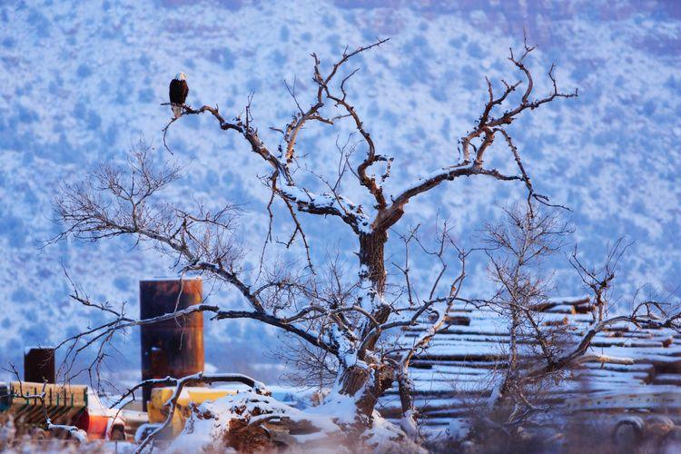 Bald eagle winter Eagle Bald Eagle Raptor Animal Animal Themes Wildlife Bird Snow Tree Cold Temperature Winter Bare Tree Branch Perching Frozen Bird Of Prey Eagle - Bird Dead Tree Frost