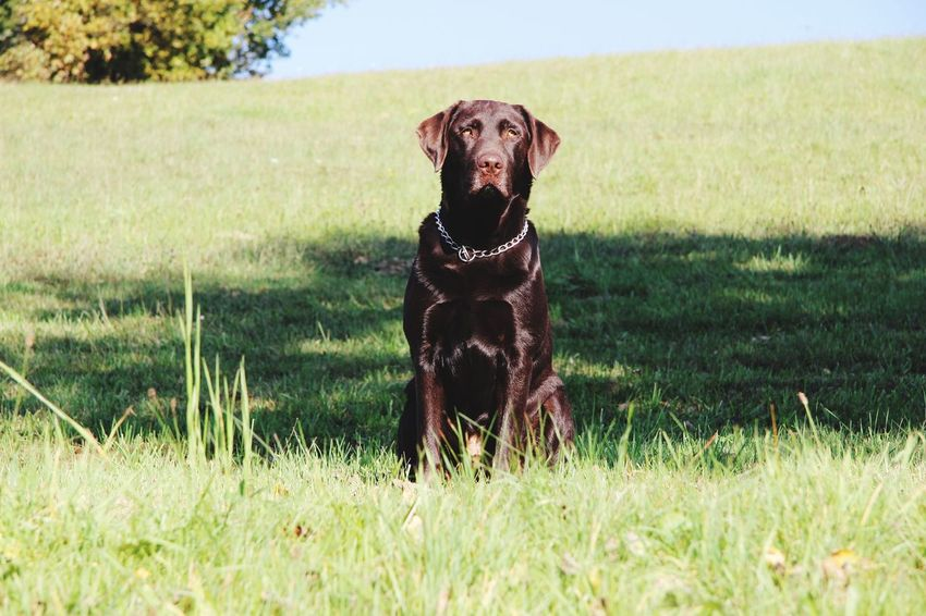 Miss you more than anything else Eiko Eikobär Alwaysinmyheart Rip Labrador Chocolatelab