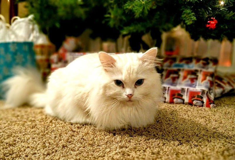 Snowflake. Cats Ragdoll Cat Nexus6 Vancouver Washington