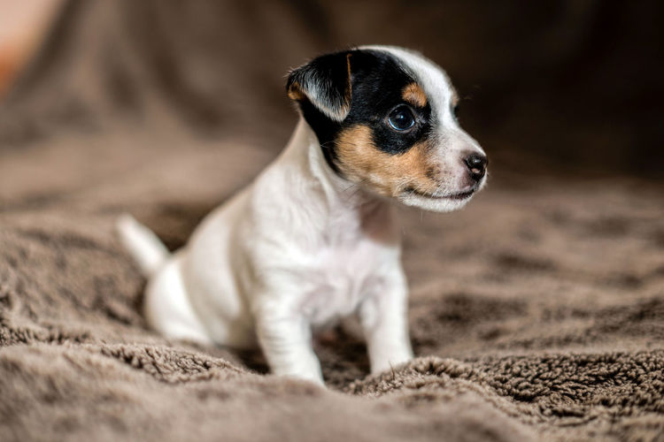 Mottled, brown and white Jack Russell puppies. Animal Themes Beagle Close-up Day Dog Domestic Animals Mammal No People One Animal Outdoors Pets Puppy Sand Selective Focus Young Animal