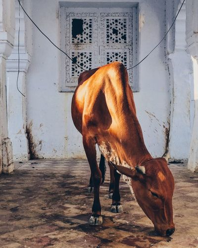 India Rajasthan Pushkar Holly Cow Temple Brown Dirty