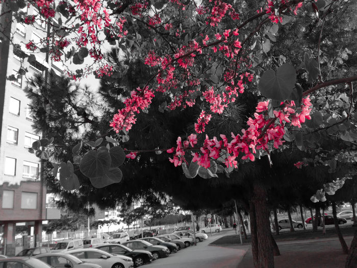 Millennial Pink Tree City Built Structure Growth Branch No People Nature Outdoors Day Architecture Spring Beauty Smartphoneshot Pink Fuchsia Springtime Spring Flowers EyeEmNewHere