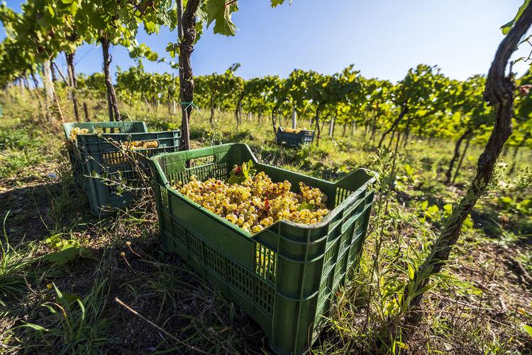 View of vineyard against clear sky