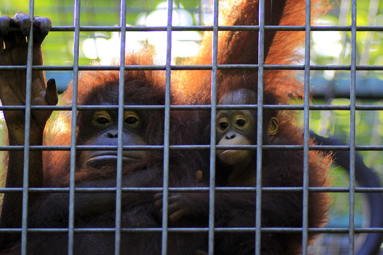 Borneo baby orangutan takes shelter in the arms of its mother at the wildlife rescue