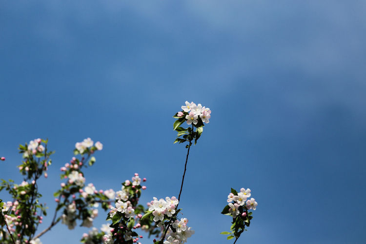 Low Angle View Of White Flowers Blooming Against Clear Blue Sky