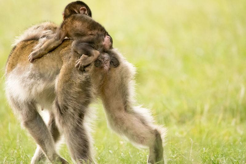 Monkeys on field