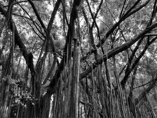 Black And White Black And White Photography Black And White Tree Black And White Tree Trunk Tree Photography Tree View Low Angle View Banyan Banyan Tree Banyan Root Banyan Tree Roots Banyan Tree Trunk Tree In The Park The Park Big Tree Big Truck Nature Photography Tree In Nature Way In The Park Root Roots Roots Of Tree Root Of A Tree Root Of The Tree Root Of Tree Root Of Banyan Tree Tree Tree Trunk