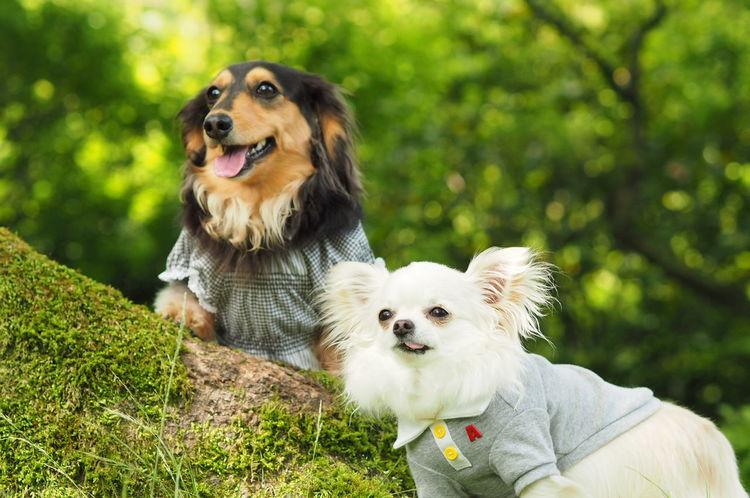Dogs Of EyeEm Dog Walking お散歩 Minituredachshund Dachshund チワワ Chihuahua 愛犬 Verdure 新緑 Dog