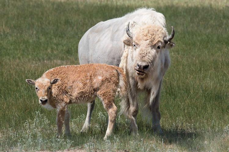 A rare white buffalo Buffalo White Buffalo Animal Themes Farm Farm Animal Grass Cattle Land Nature Herbivorous Outdoors Animal Family Baby Buffalo