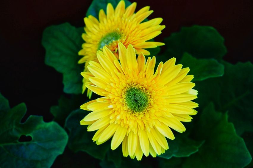 Eyeem Philippines Daisy Flower Flower Head Sony A6000 A6000photography Flower Yellow Flower Head Petal Fragility Nature Beauty In Nature Plant Close-up Freshness Green Color