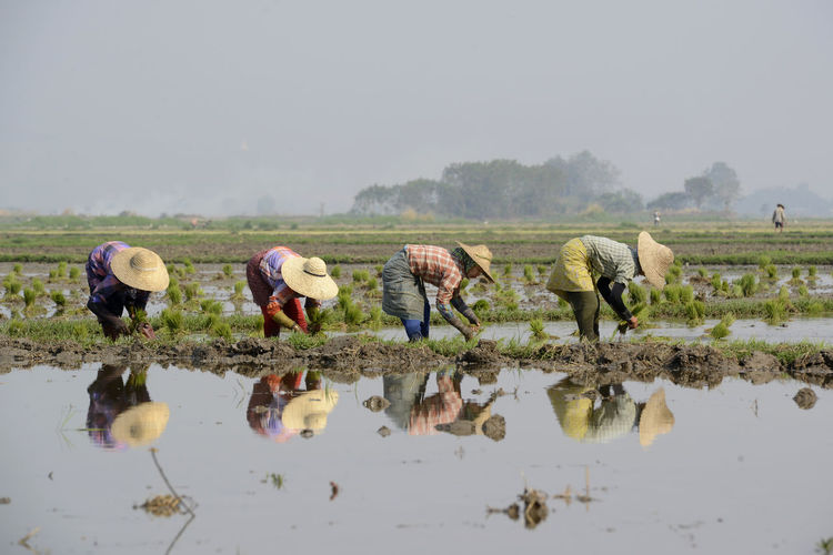 People working in rice paddy
