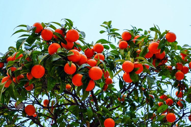 Low angle view of orange tree against clear sky